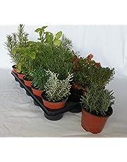Bandeja de planta aromática variada (maceta de 10,5 cm) (15 unidades) - Planta viva - Planta aromatica