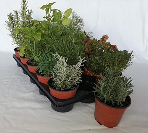 Bandeja de planta aromática variada (maceta de 10, 5 cm) (15 ...