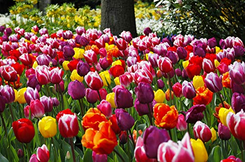 Flowers Spring Plant (Extra Large Bulb Size - 50 Dutch Grown Tulip Bulbs - Mid-Spring Flowering - Fall Planting - Triumph Tulip - Mixed Colours)