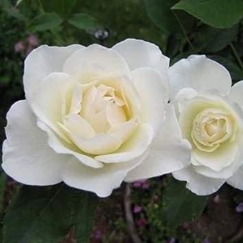 Amazon Com Iceberg Climbing Rose Bush Organic Grown White Rose