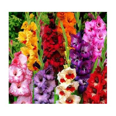 USA Made and Shipped from, Large Bulbs, (10) Beautiful Flowering Perennials, Sword Lily, Gladiolus Bulbs, Deluxe Giant Mix - Clarence : Garden & Outdoor