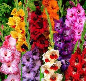 Amazon 10 attractive flowers gladiolus dwarf low growing 10 attractive flowers gladiolus dwarf low growing mixgladioli bulbs plants mightylinksfo
