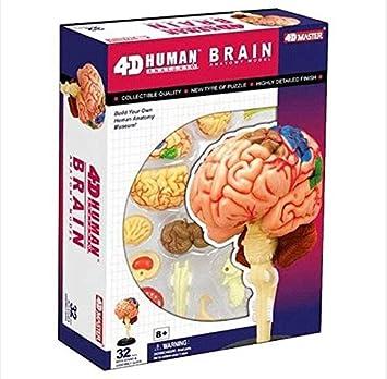 amazon com 4d puzzle brain human anatomy study series 3d model newimage unavailable image not available for color 4d puzzle brain human anatomy study series 3d model new