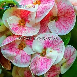 2016 Rare 50pcs Green Euphorbia Milii Seeds Beautiful Wedding Flower Plants For Home Garden Very Easy Grow