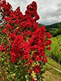 Dynamite Red Crape Myrtle - Live Plants Shipped 1 Foot Tall by DAS Farms (No California)