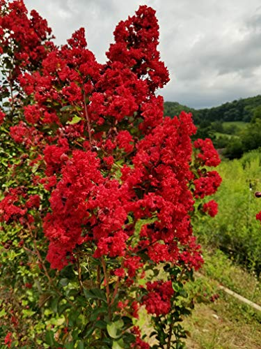 Dynamite Red Crape Myrtle - Live Plants Shipped 1 Foot Tall by DAS Farms (No California) (Best Fertilizer For Crepe Myrtles)