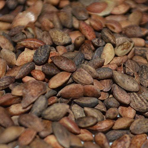 Japanischer Kiefer, Pi ergii 1000 Samen für Bonsai Garten + Register by Farmerly