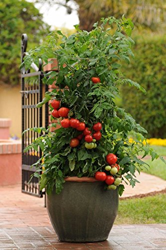25 PATIO BUSH TOMATO Seeds 5 oz Fruits Plant Garden Hanging Baskets by Iniloplant (Image #1)
