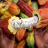 Theobroma Cocoa Cacao Pods, 2 Seeds, exotic tropical plants