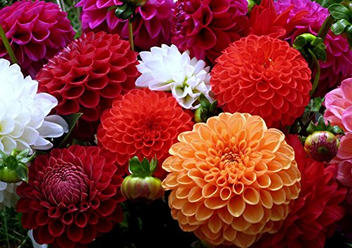 Dahlia Pompon Seeds Flowers Mix Beautiful for Planting Non GMO 20 Seeds ()