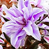 Purple Amaryllis Bulbs (2 Bulbs) Perennial Elegant Fragrant Flowers Outstanding Indoor Blooms