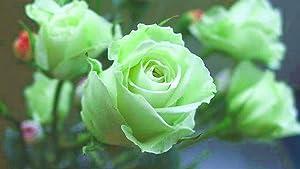 100Pcs Mint Green Rose Seeds Butterflies Love Garden Flower Rare Plant Seeds
