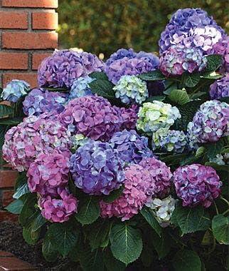 Semillas de hortensia doble 11 Venta de semillas 100pcs Planter Bonsai jardín de flores Planta de tiesto hogar planta ornamental Flores color de la mezcla Pot: Amazon.es: Jardín