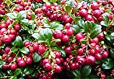 Vaccinium Vitis IDAEA 'RED Candy' - Lingonberry - Starter Plant