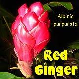 LIVE PLANT Hawaiian RED GINGER Alpinia purpurata Zingiberaceae Awapuhi 'Ula'ula
