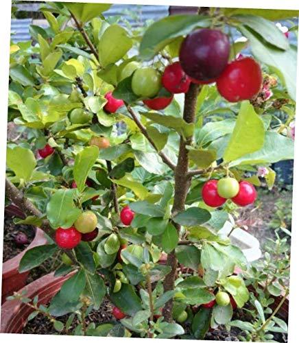 HZI 1 Bonsai Barbados Cherry Plant Malpighia Emarginata 4