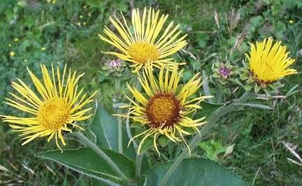 Elecampane Root Cut - Elecampane Root, Cut&Sifted - Wildcrafted - Inula helenium (454g = One Pound) Brand: Herbies Herbs