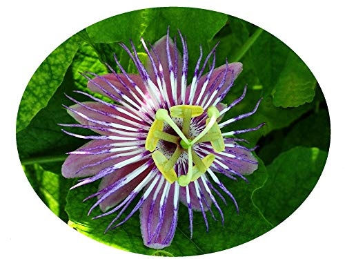 - FOETIDA Passion Passiflora Vine Live Plant Lace Bud Purple Blue Flowers Shade Garden Attract Butterflies