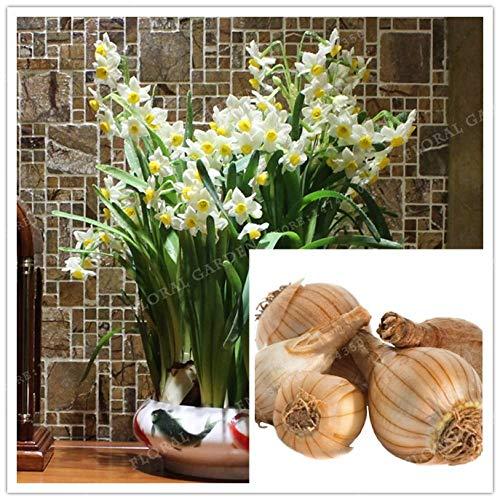 Bulb Bonsai Yellow Pot Plant True White and Yellow Narcissus Bulbs,Daffodil Bulb Bonsai Aquatic Plants Double Petals Absorption Radiation Potted Plant-2 Bulb