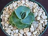 "Agave isthmensis rare succulent plant miniature rose bonsai cactus cacti 4"" pot"