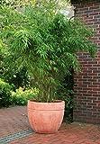 Aufrechter Garten-Bambus - Fargesia murieliae - Jumbo - schnellwachsend, robust, sehr winterfest, 40-60 cm