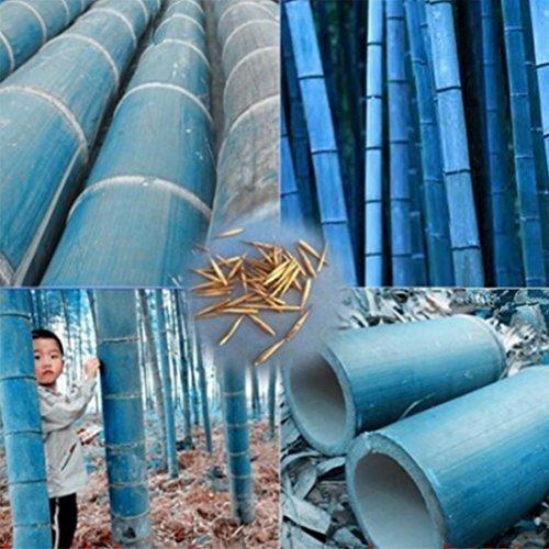 (Trenton 50Pcs Rare Blue Bamboo Seeds Beautiful Home Garden Decorative Tree Herb Plant)