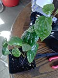 9EzTropical - Paan/Betel Leaf Vine - 1 Plants - 1Feet Tall - Ship in 3'' Pot