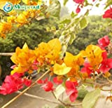 New Plants Yellow Bougainvillea Spectabilis Willd 100+ Seeds
