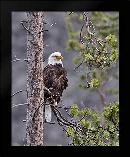 Bald Eagle 20x24 Framed Art Print by McFerrin, Larry