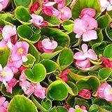 Begonia- Rose 50 Seeds