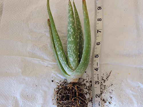Large Organic 10 Inch Aloe with Strong Roots and Large Fa...