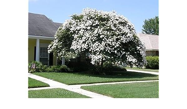 Crape Myrtle White Seeds 35 Perennial Tree