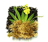 BLOOMIFY Tree Fern Mounted Miniature Oncidium Orchid with Flower Spike-Long Fiber Sphagnum Moss Wrapped: Psygmorchis pusilla