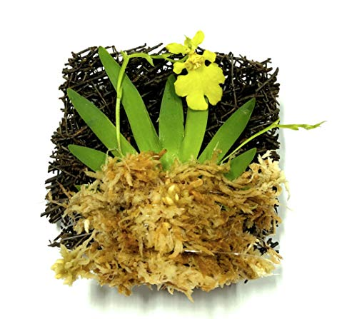 - BLOOMIFY Tree Fern Mounted Miniature Oncidium Orchid with Flower Spike-Long Fiber Sphagnum Moss Wrapped: Psygmorchis pusilla