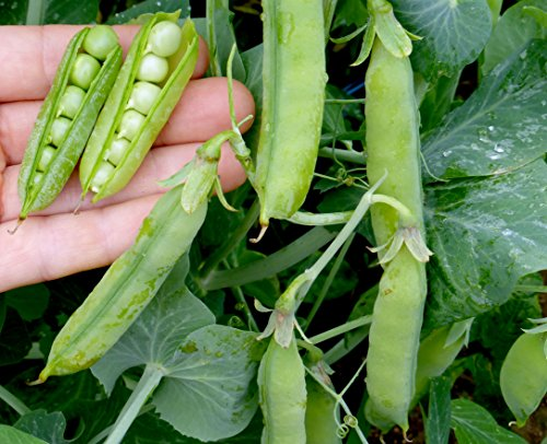Sweet Pea Florist (David's Garden Seeds Pea Wando S1520B (Green) 200 Open Pollinated Seeds)