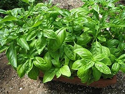 Seeds Green Leaf Basil Yunga - Sailor Fresh Organic Russian Heirloom Seed