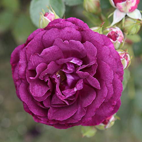 Own-Root One Gallon Twilight Zone Grandiflora Rose by Heirloom Roses by Heirloom Roses (Image #2)
