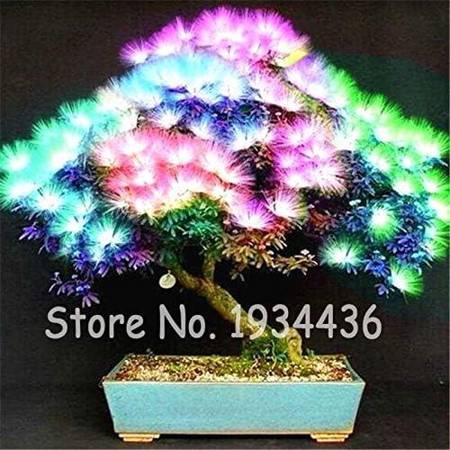 Pinkdose 20 piezas de bonsi con encanto Albizia Acacia Flores ...