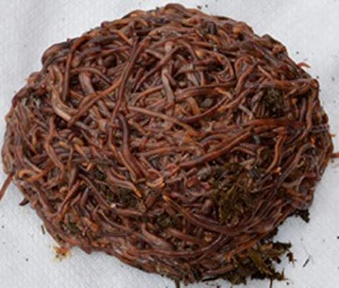 2000 Count Red Wiggler Worms Live Composting Worms - Red Worms For Compost