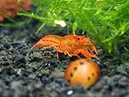 1 ORANGE CPO Dwarf Mexican Crayfish/Mini Lobster (Cambarellus patzcuarensis) - 1/2 Inch to 1 1/2 Inches by Aquatic Arts