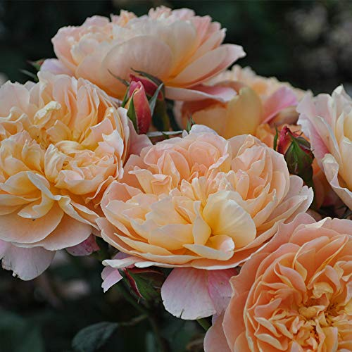 Own-Root One Gallon The Impressionist Climbing Rose by Heirloom Roses by Heirloom Roses (Image #1)