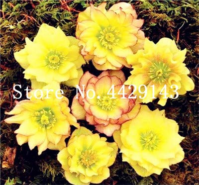 100 pcs helleborus Plants Garden Summer Flower Plants Seeds Plant Home Jardin Flores Beautiful Like Desert Rose