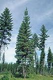 50 Western White Pine Tree Seeds, Pinus Monticola