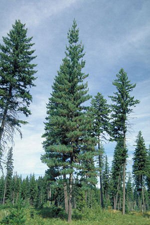 Amazoncom 50 Western White Pine Tree Seeds Pinus Monticola