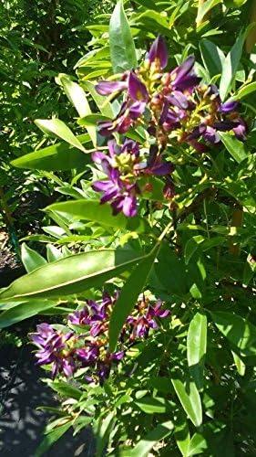 Amazon Com Evergreen Wisteria Purple Flower Plants 2 Gal Tree