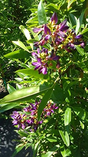 Evergreen Wisteria Purple Flower Plants 2 Gal. Tree Plant Flowers Grow Trees Now