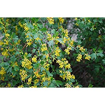 Amazon ribes aureum golden currant clove currant 3 native ribes aureum golden currant clove currant 3 native plants buy direct from mightylinksfo