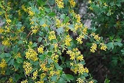 Amazon ribes aureum golden currant clove currant 3 native ribes aureum quotgolden currant clove currantquot 3 native plants buy direct mightylinksfo