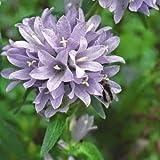 Campanula moesiaca 100 fresh seed