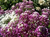 500 SWEET ALYSSUM ROYAL CARPET Lobularia Maritima Flower Seeds